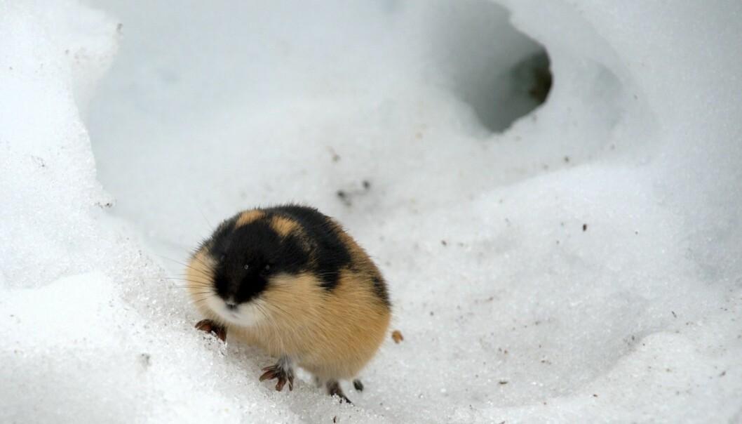 Norsk lemen. Her uten flokk. Foto: kgleditsch/Flickr.com