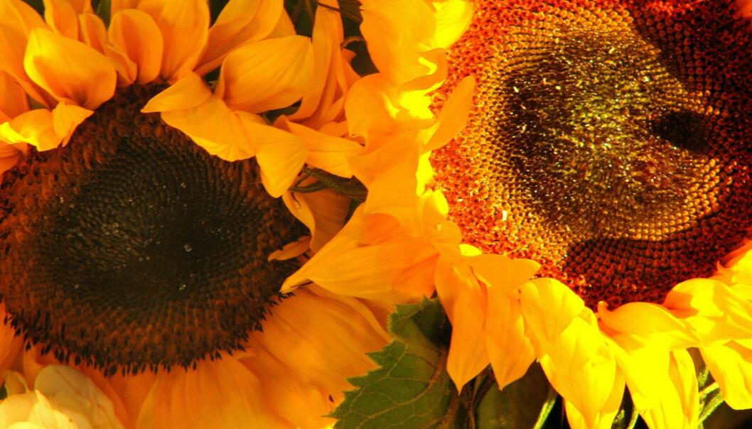 Solsikker, riktignok engelske. Foto: Flickr