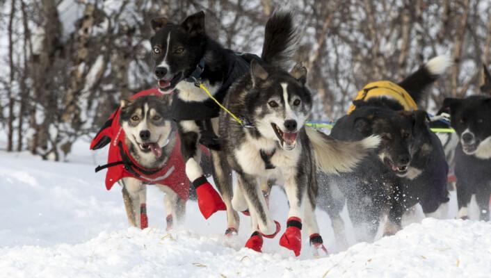 Det er først når man ser på bildene man har tatt av hundene at man ser hvor mye energi de faktisk legger i løpet. Dette er et slikt bilde, sier fotografen. Foto: André Bendixen