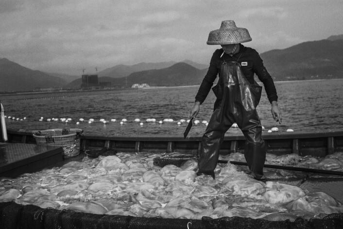 For å få hver eneste fisk ut av nettet må også manetene om bord. De kuttes opp før de blir kastet tilbake i havet. Foto:Christian Breidlid