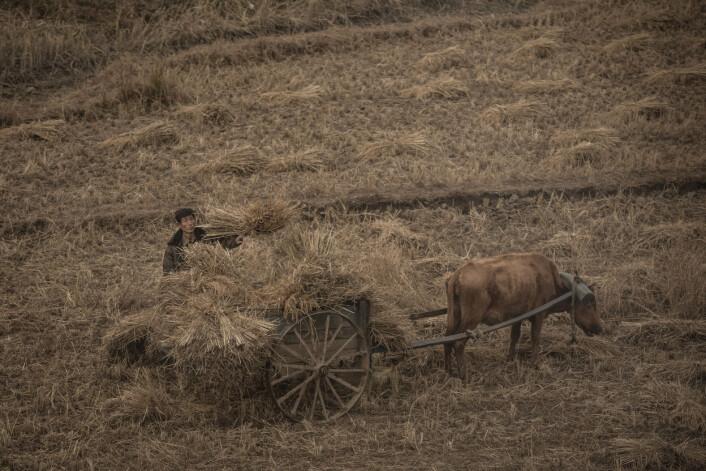 Nord-Korea er ikke spesielt godt egnet for jordbruk. Bare en femtedel er dyrkbar mark, sesongen er kort og landbruksmaskiner er mangelvare. Oksen er en viktig ressurs for bonden. Det skal hardt arbeid til for å holde den mett og frisk. Foto:Annemor Larsen