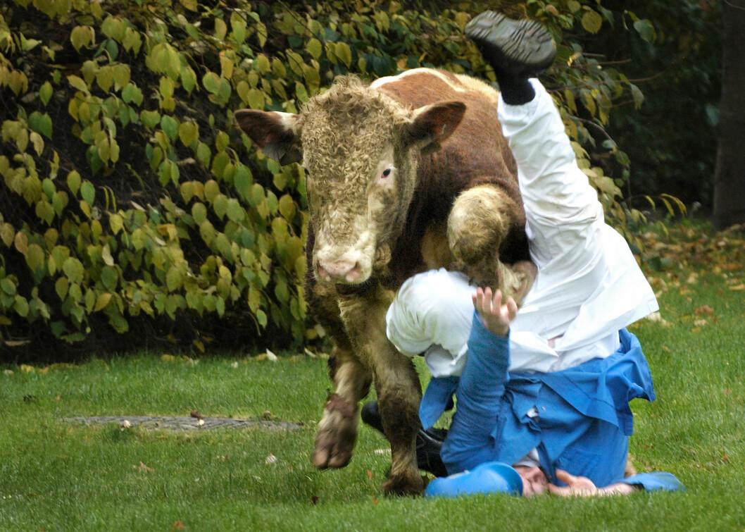En okse hadde rømt fra slakteriet i Levanger, og i et forsøk på å fange oksen ble slakter John Anders Aspaas løpt ned av oksen. Han slapp fra det uten alvorlige skader. – Dette var fra noen år tilbake, da vi fortsatt kunne lytte til politiradioen. Vi var på vei til en avtale om statsbudsjettet, men snudde da vi hørte om oksen, sier Nesgård.