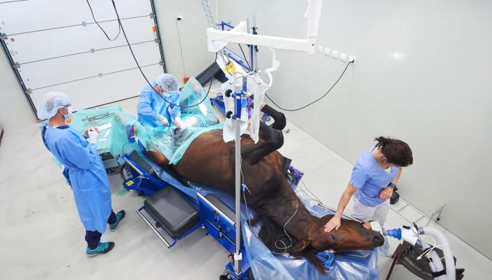 Hesten «Yolo Ferrari» i full narkose på operasjonsbordet hos Steinkjer Veterinærsenter. – Jeg var opptatt av å få med hånda til dyrepleieren som kjenner på pulsen. Den viser en slags omtanke, sier Nesgård. Bildet tok 2. pris i kategorien Dagligliv i Norge i Årets bilde 2016.