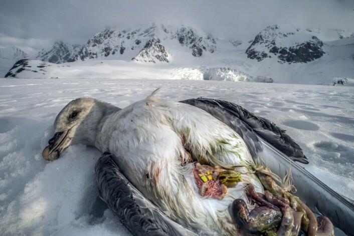 På ekspedisjon i Sør-Spidsbergen kom naturfotografen over en død havhest med plastikk i magen. Foto: Audun Rikardsen