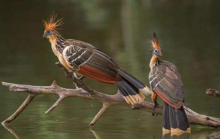 «Bildet viser to hoatzin-fugler i Amazonas i Peru. Jeg tror bildet er så populært fordi fuglene er svært eksotiske, og de har reist hodefjærene så man får assosiasjoner til Mohawk-indianere. Bakgrunnen er ren og komposisjonen tydelig». Foto: Morten Ross