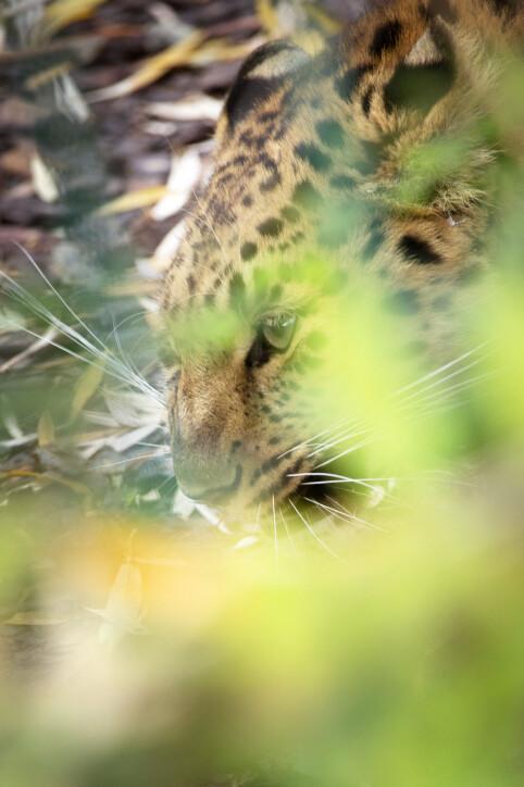 Amur-leoparden var ikke så glad for besøk av Jægtvik.
