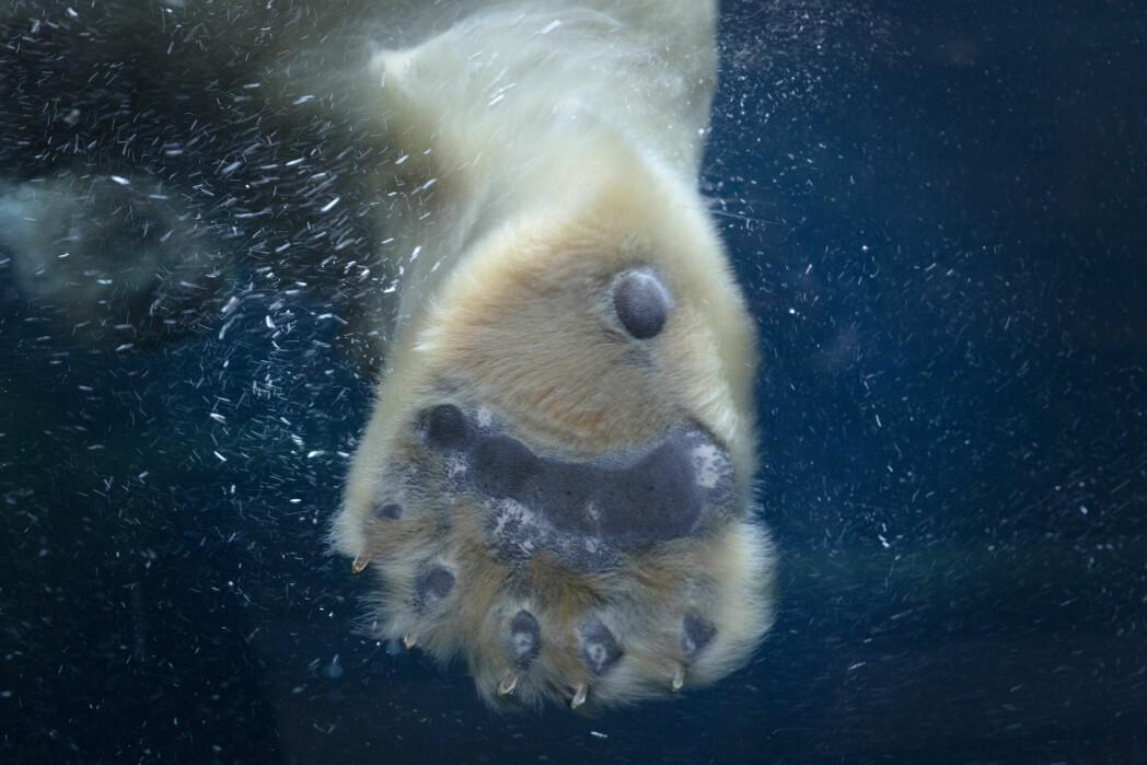 «Vilde dyr. Vildt tæt på», skrev Politiken i sin nettutgave., her en isbjørnpote.