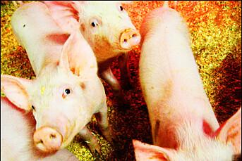 Dokumentar med skjulte opptak fra svinenæringen på gang