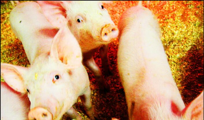 Lager dokumentar med skjulte opptak fra svinenæringen