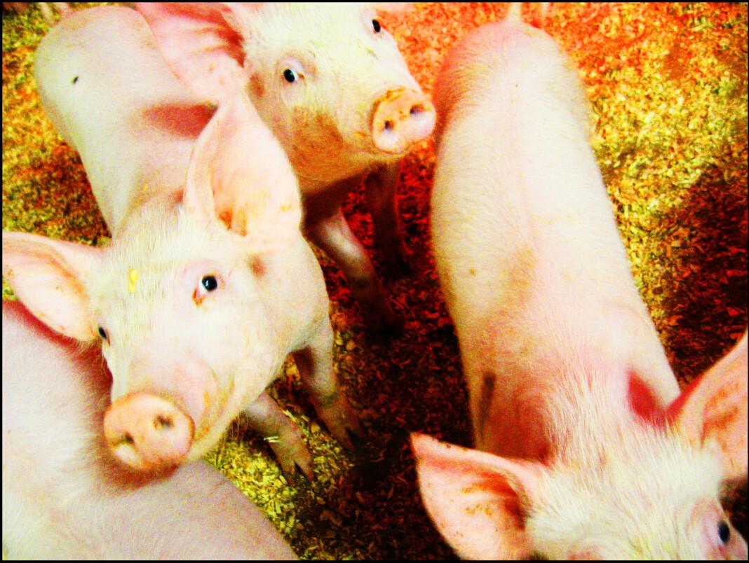 Filmen skal vise at dyr blir dårlig behandlet og regelverksbrudd. Illustrasjonsfoto: NTB scanpix