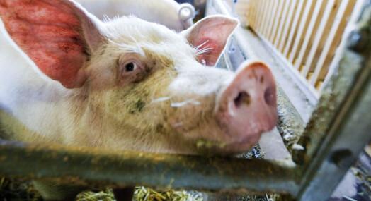 Mistet ikke matlysten av NRKs grisedokumentar