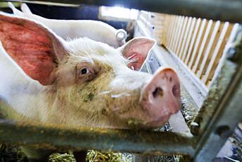 NRK Brennpunkt-dokumentar om svineprodusenter ryster politikerne. Bonde anmelder filmselskapet