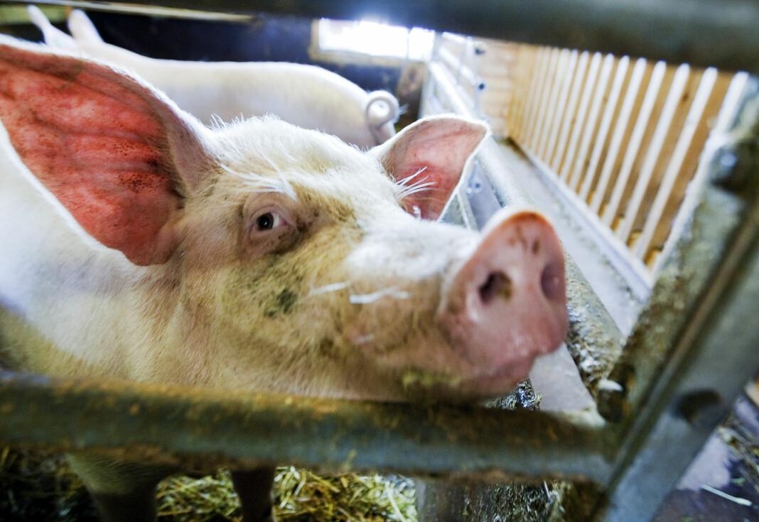 En dokumentar om svineprodusenter som sendes på NRK onsdag kveld har skapt reaksjoner. Illustrasjonsfoto: Gorm Kallestad / NTB scanpix