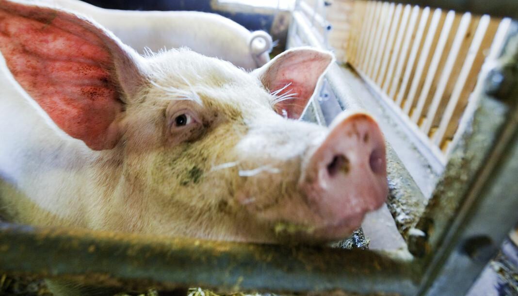 Så langt ser det ikke ut at NRK Brennpunkt-dokumentaren har hatt påvirkning på salget av svinekjøtt, skriver Nationen.   Illustrasjonsfoto: Gorm Kallestad / NTB scanpix