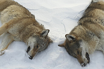 Reagerer på at lokalavis publiserer navn på ulvejegere