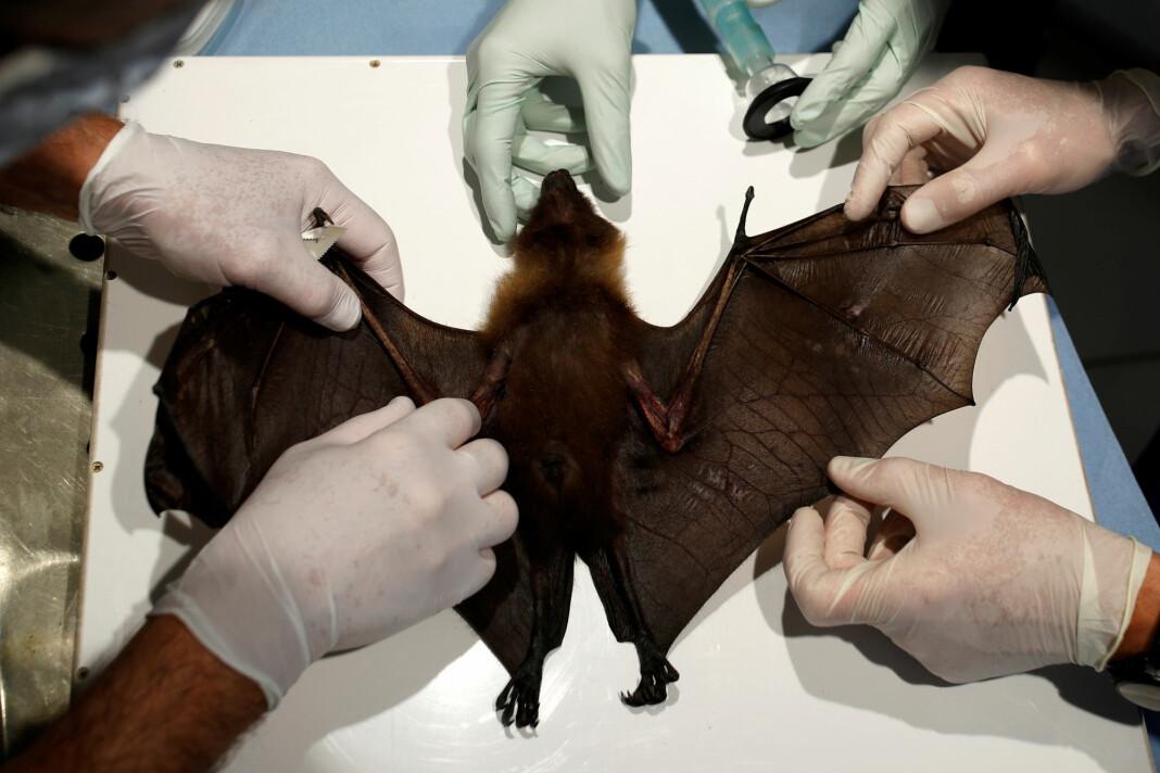 Forskere tar prøver av en flaggermus på jakt etter koronavirus. Bildet er fra en fransk dyrehage.