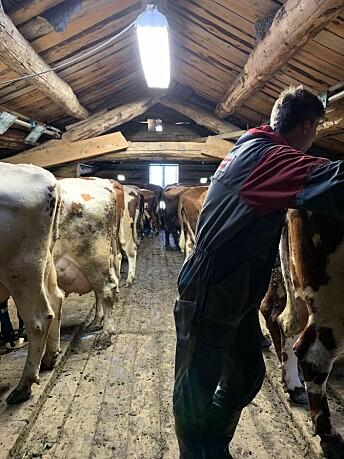 Når han ikke er opptatt med ungdomsskolen eller skriver saker for lokalavisen, hjelper Frengstad foreldrene med gårdsarbeid på Kvikne. Her er han i fjøsen med kyrne.