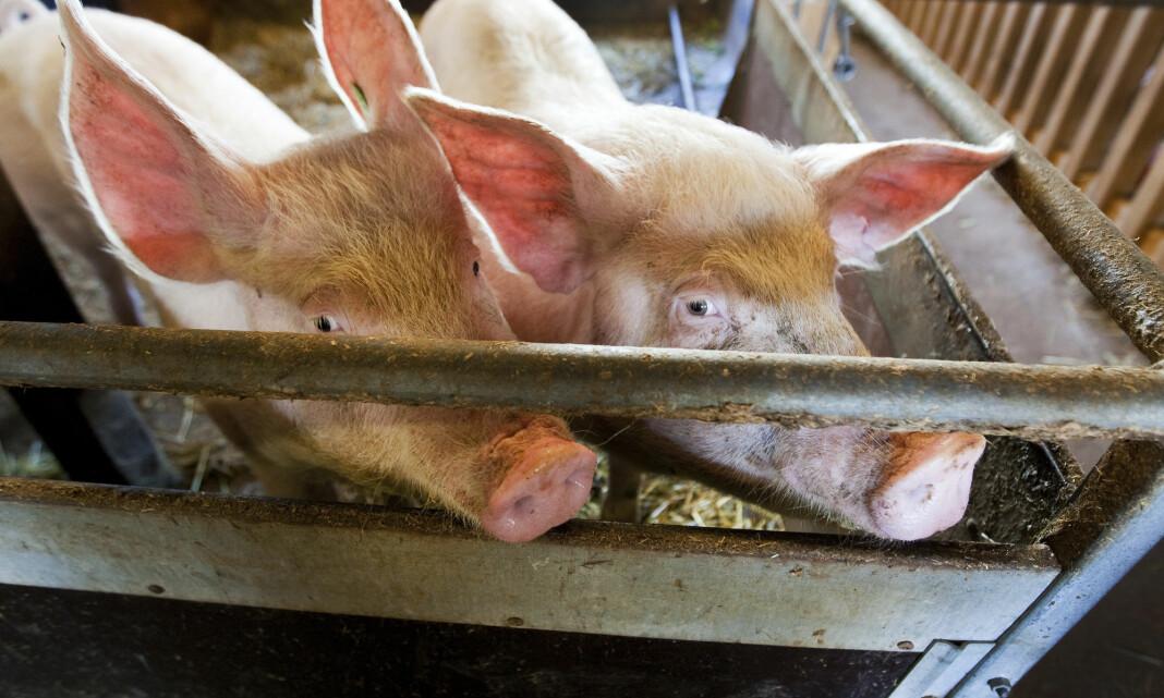 Svinebønder anmelder innbrudd på gårder etter brev fra NRK