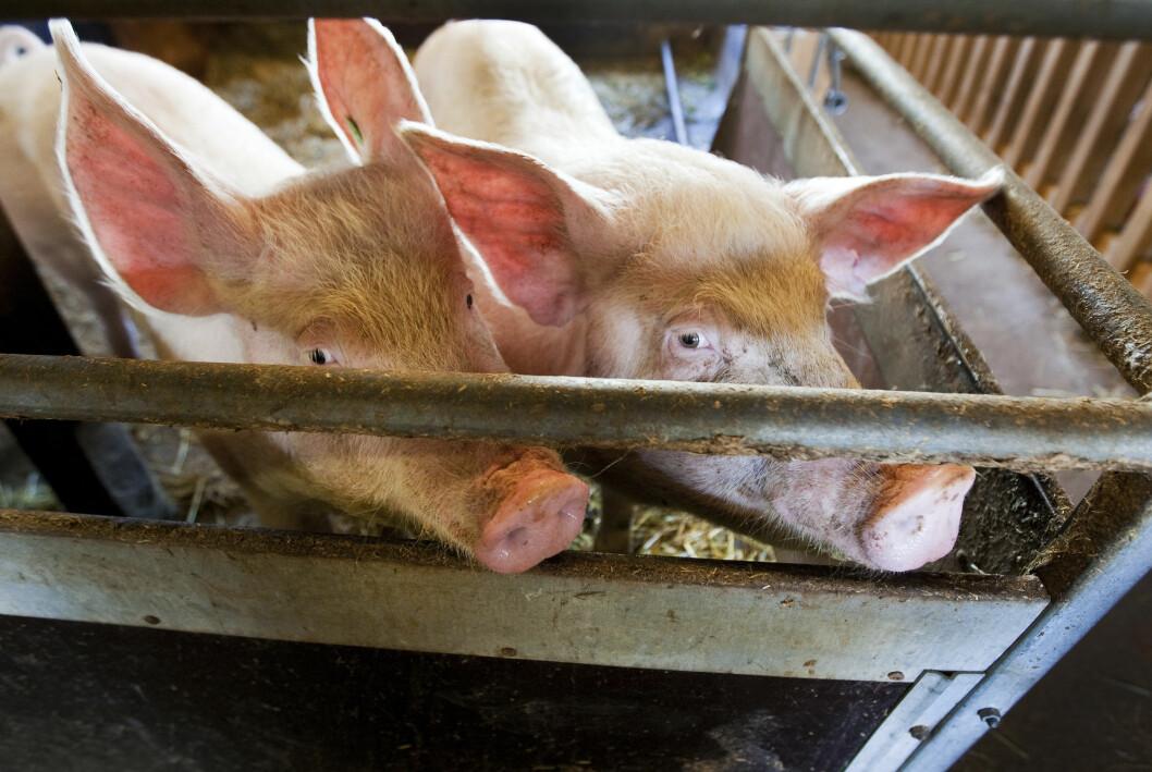 24 svineprodusenter har anmeldt ukjente aktivister som skal ha tatt seg inn på flere gårder de siste to årene.